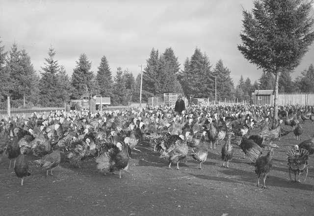Southworth's Turkey Farm, November 1940